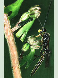 Ichneumon Wasp on a Common Twayblade, Neottia ovata.