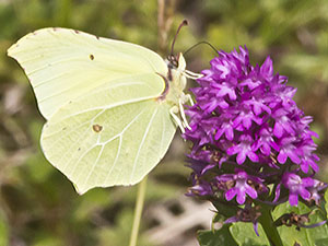 A Brimstone butterfly, Gonepteryx rhamni, attempting to feed from a Pyramidal Orchid, Anacamptis pyramidalis.